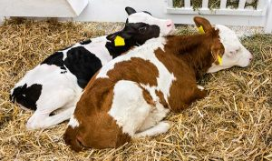 dairy cow management